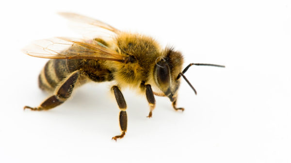 honeybee-whitebackground.ngsversion.1472674738917